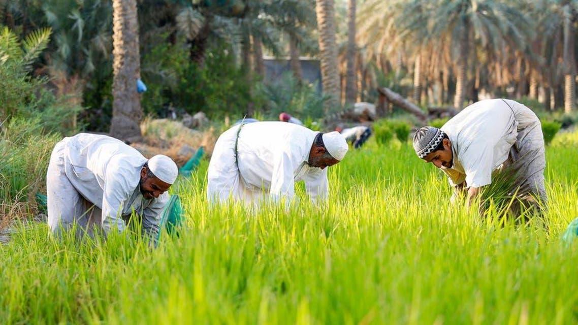 KSA: Crop Rice