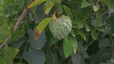 قد تتفاجأ لوجودها.. فاكهة شهيرة فوق جبال سعودية