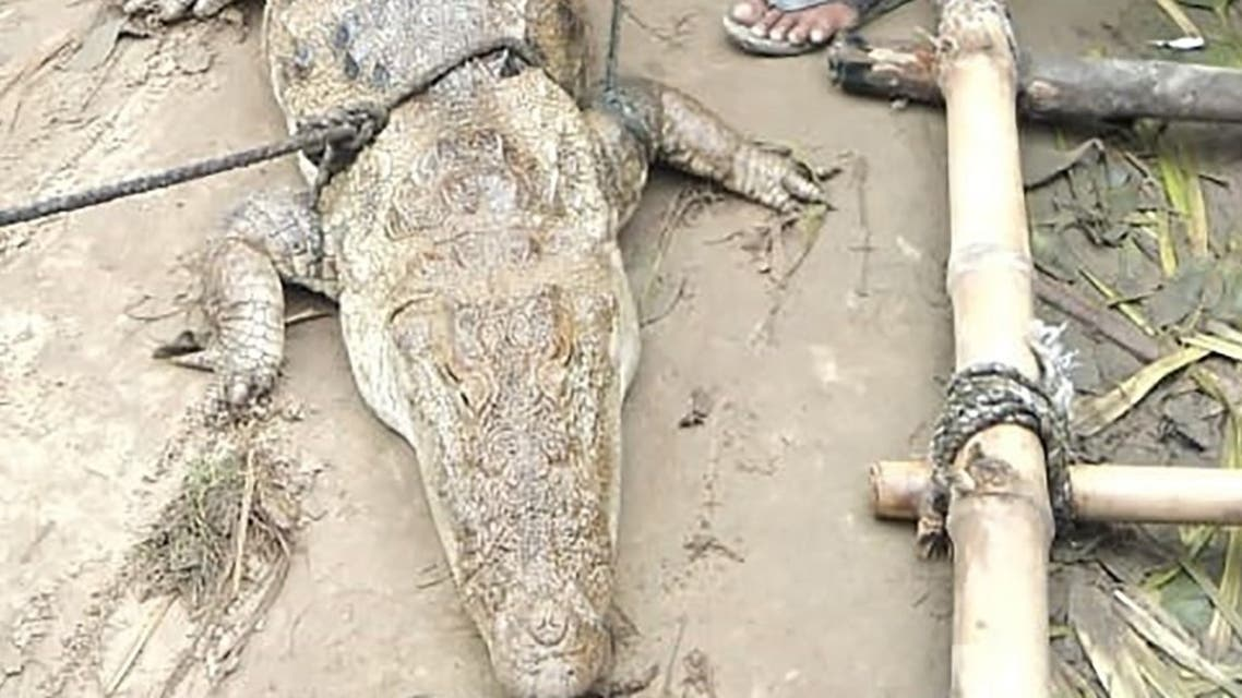 The two-meter (eight-foot) crocodile after it was found in a pond after monsoon flooding, at Midania village in Uttar Pradesh state. (AFP)8HR