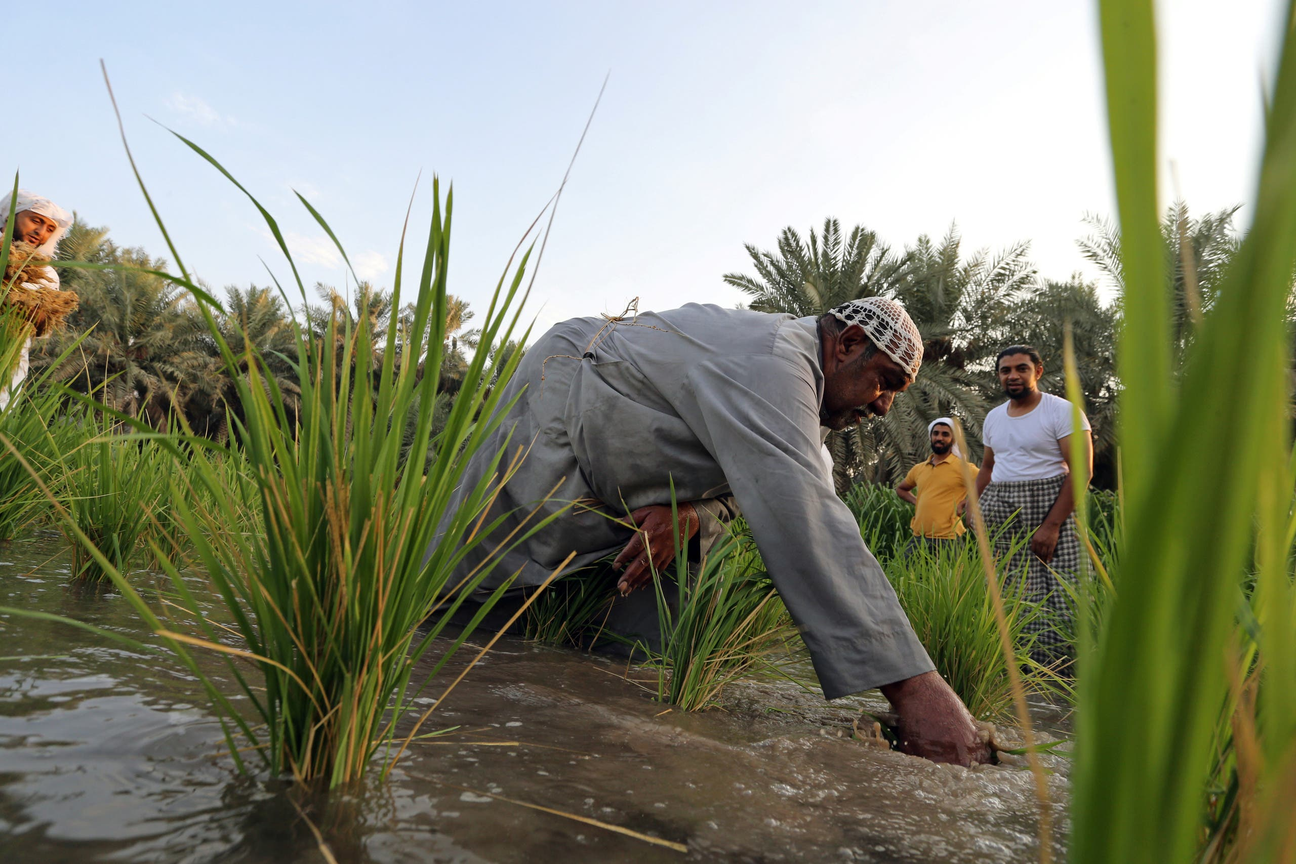 "A Saudi farmer plucks rice plantation, known as ""Hassawi Rice"" in a rice field in Al-Ahsa. (Reuters)"