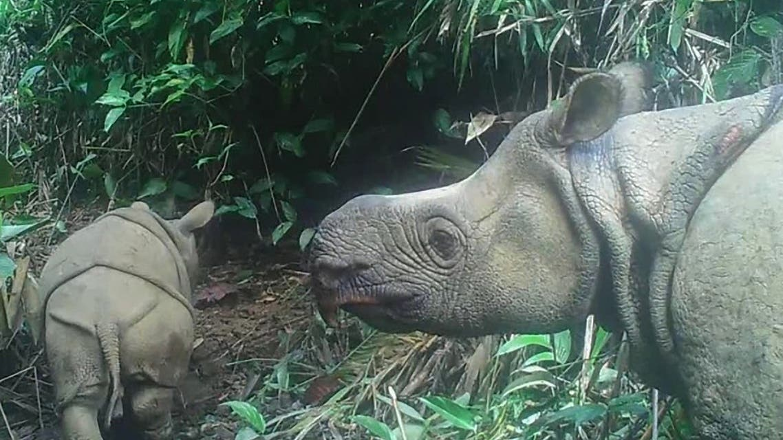 This handout still image released on September 20, 2020, and taken from video footage on May 22, 2020, shows a male Javan rhinoceros calf in Ujung Kulon national park in Indonesia's Banten province. (AFP/Environment and Forestry Ministry)