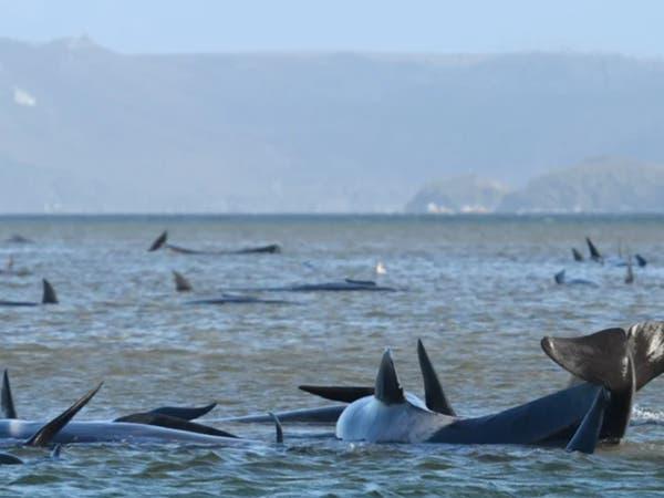 شاهد.. مئات الحيتان النافقة عائمة على وجه الماء