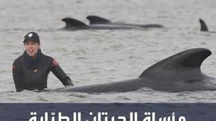 مشهد مأساوي وكارثة بيئية لأكثر من 470 حوتا قبالة جزيرة تسمانيا الأسترالية!