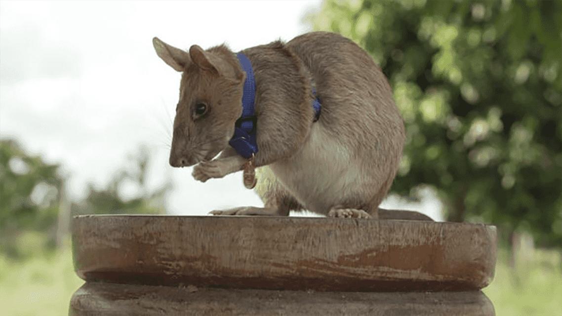 موش مینیاب آفریقایی مدال طلای فداکاری گرفت