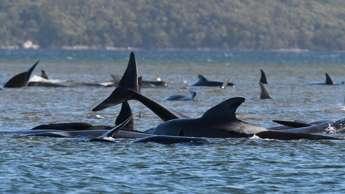 A pod of whales, believed to be pilot whales, is seen stranded on a sandbar at Macquarie Harbour, near Strahan, Tasmania, Australia, September 21, 2020. (AAP Image/The Advocate Pool, Brodie Weeding via Reuters)
