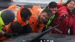 أستراليا تبدأ التخلص من نحو 350 حوتا بعد فقدان الأمل بإنقاذها!