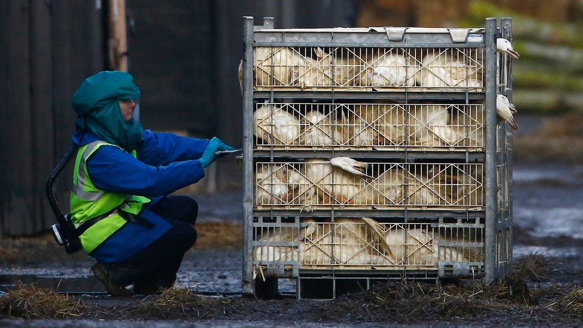 An official inspects a crate of ducks during a cull at a duck farm in Nafferton, northern England. (File photo: Reuters)