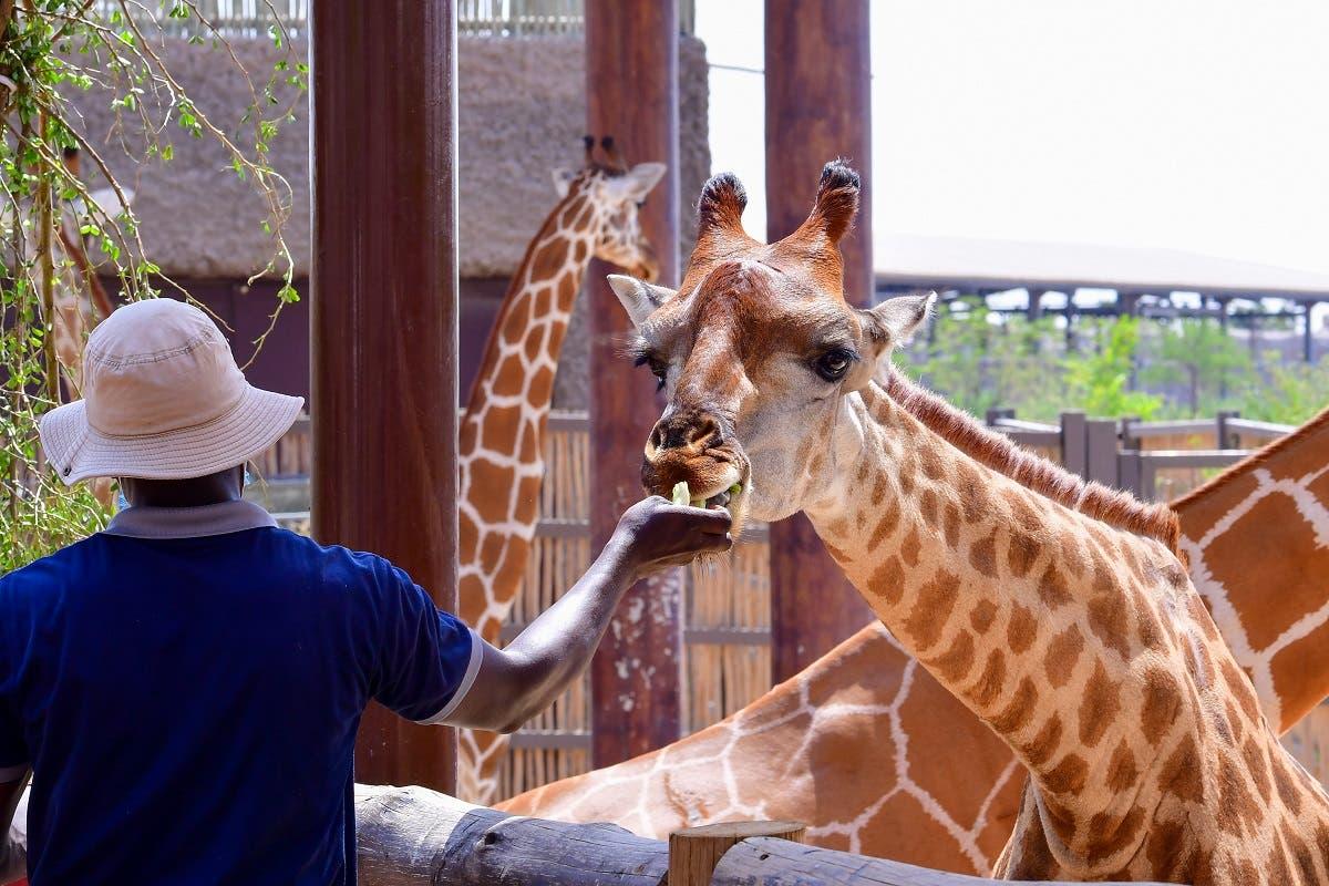 A man feeds a giraffe at the Dubai Safari Park on October 4, 2020, in the United Arab Emirates. (AFP)
