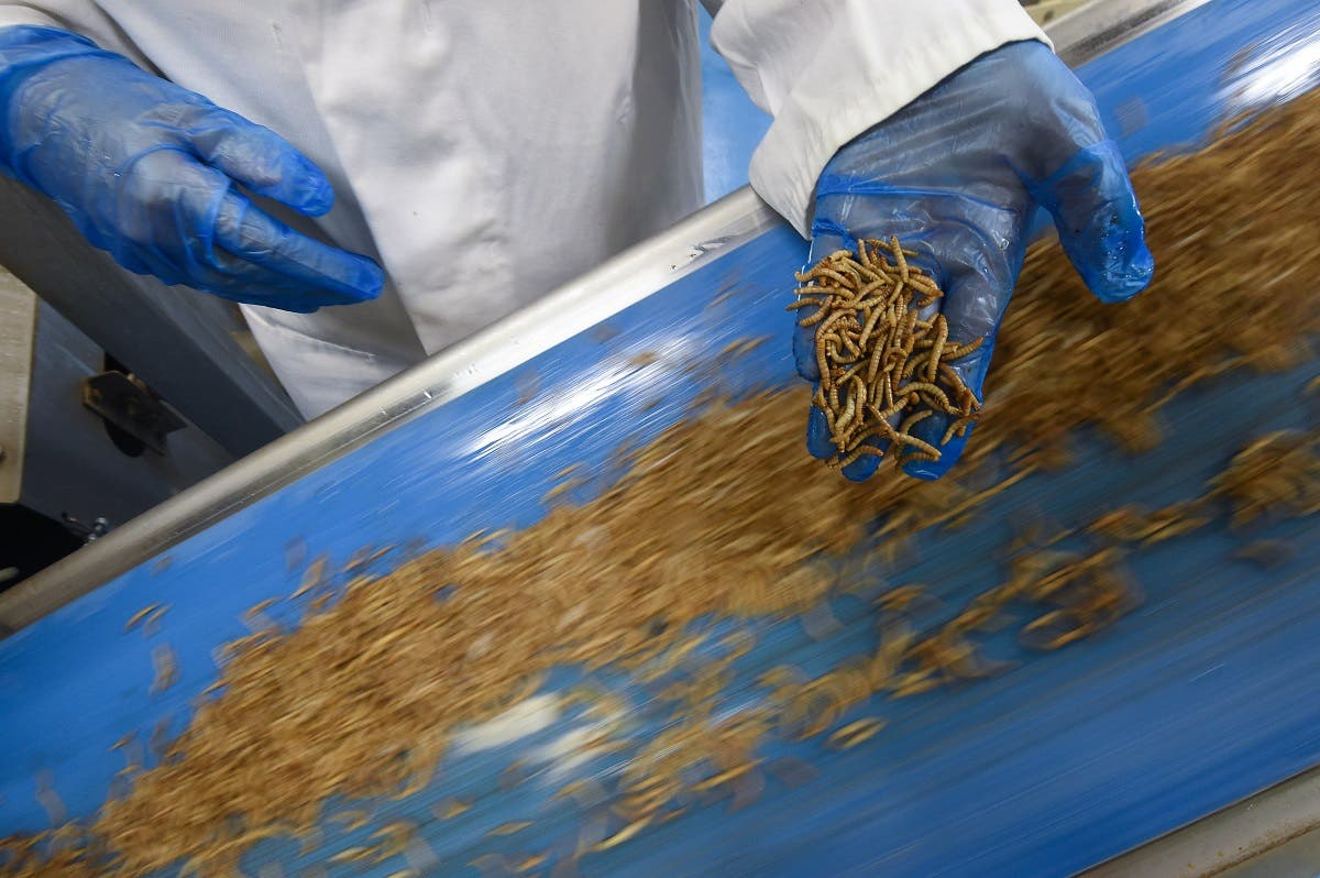 "An employee checks worms before they are being turned into protein powder at the ""Ynsect"" experimental insect farm in Dole, eastern France. (AFP)"
