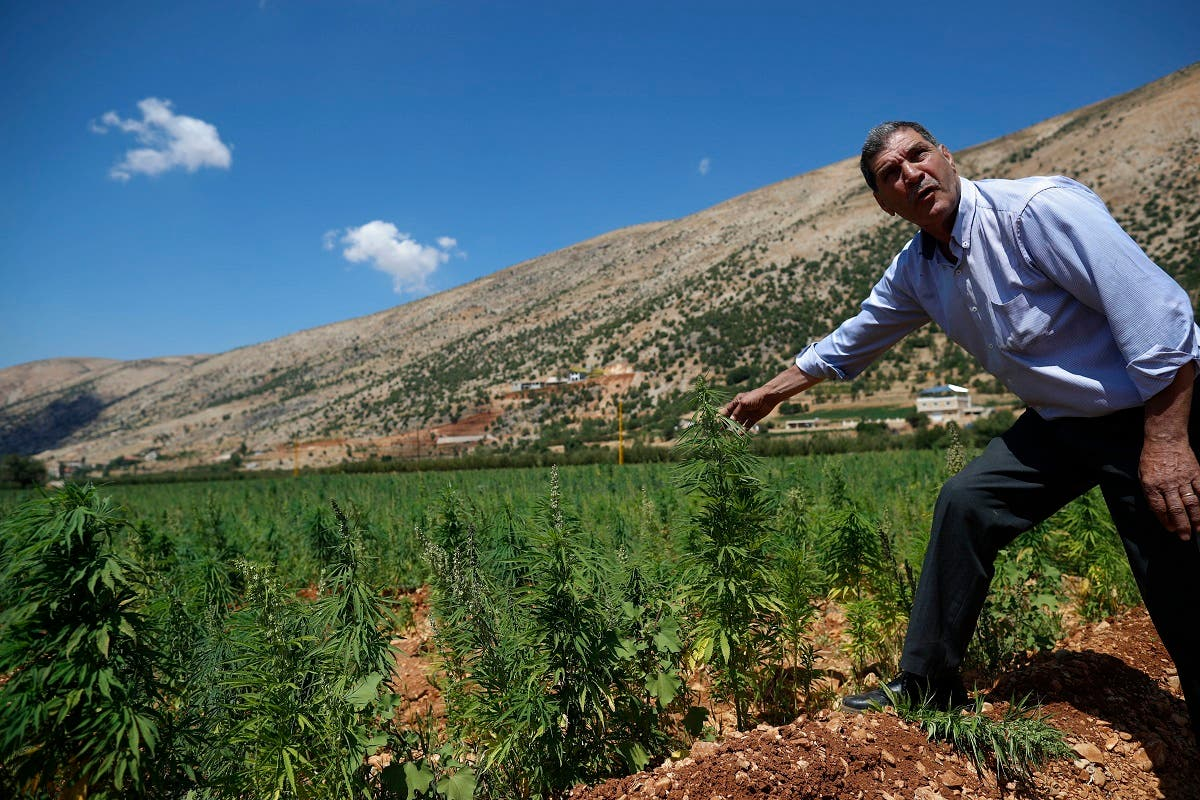 A local resident who has planted cannabis for decades checks a cannabis field as he speaks with The Associated Press in Baalbek. (File Photo: AP)