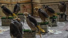 Pakistan foils attempt to smuggle over 75 endangered falcons