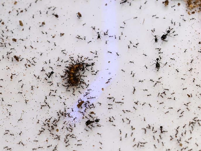 متجر في سنغافورة لبيع النمل.. كحيوانات أليفة