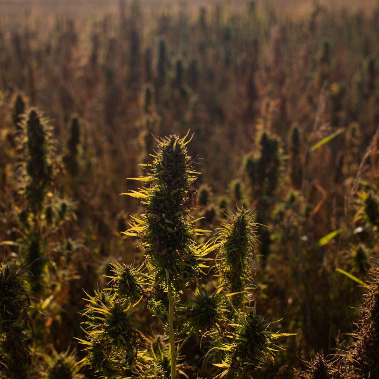 صحيفة أميركية: هكذا تنمو مزارع القنب بلبنان قرب مقار حزب الله