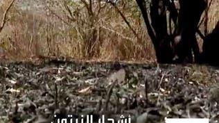 حرائق الغابات تدمر مصدر رزق مزارعي زيتون سوريين