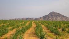 سعودی عرب کی وادی 'حلی' مملکت میں اناج کا خزانہ کیوں سمجھی جاتی ہے؟