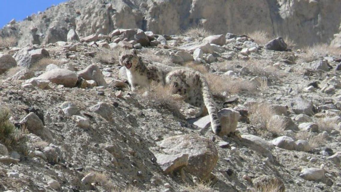 افغانستان؛ پلنگ برفی در بدخشان 23 راس گوسفند را به کام مرگ فرستاد