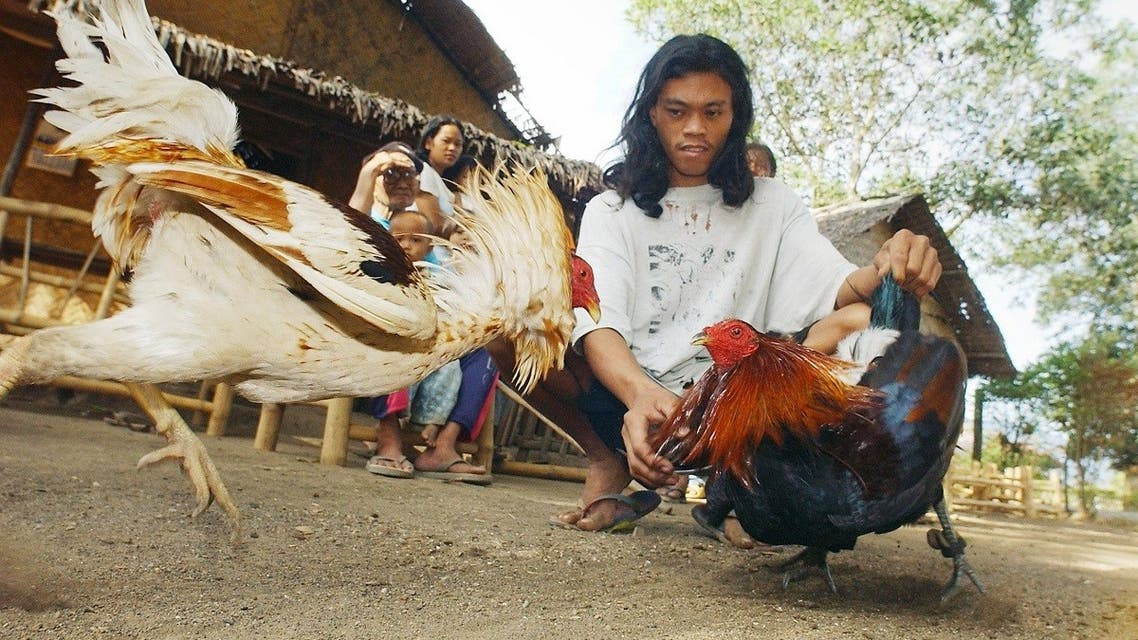 Filipino cockfighting enthusiast Bubut Garcia guides his fighting cock during a duel in the village of Puerto Princesa located in western Philippine island of Palawan. (AFP)
