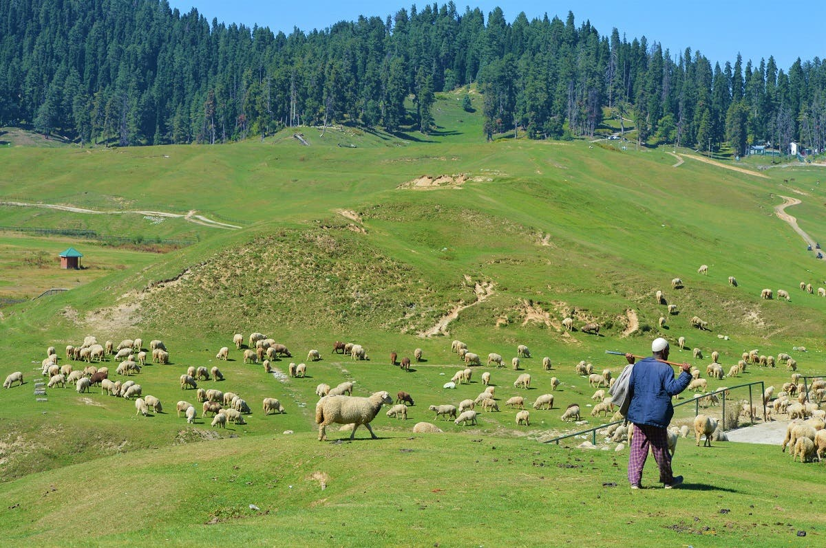 A herder grazes his sheep in Gulmarg meadow, a renowned tourist resort 45km west of Srinagar, Kashmir, India. (File photo: Reuters)