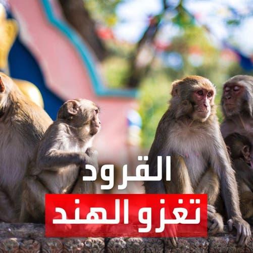 بحثاً عن الطعام.. آلاف القرود تغزو مدينة هندية