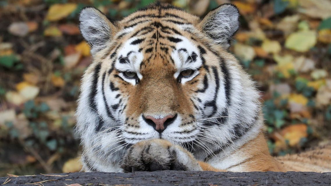 A Siberian tiger also known as Amur tiger relaxes during sunny autumn weather at an enclosure at Zoo Zurich, Switzerland October 30, 2020. (File photo: Reuters)