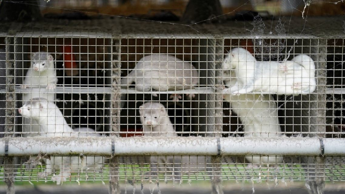 Caged minks are seen amid the coronavirus disease outbreak, at a mink farm in Gjoel, North Jutland, Denmark October 9, 2020. (Ritzau Scanpix/Mads Claus Rasmussen via Reuters)