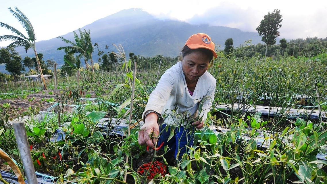 A farmer picks chili peppers on a farm with Mount Merapi volcano in the background after its alert level was increased following a series of minor eruptions in Boyolali, Central Java, Indonesia. (File photo: Reuters)