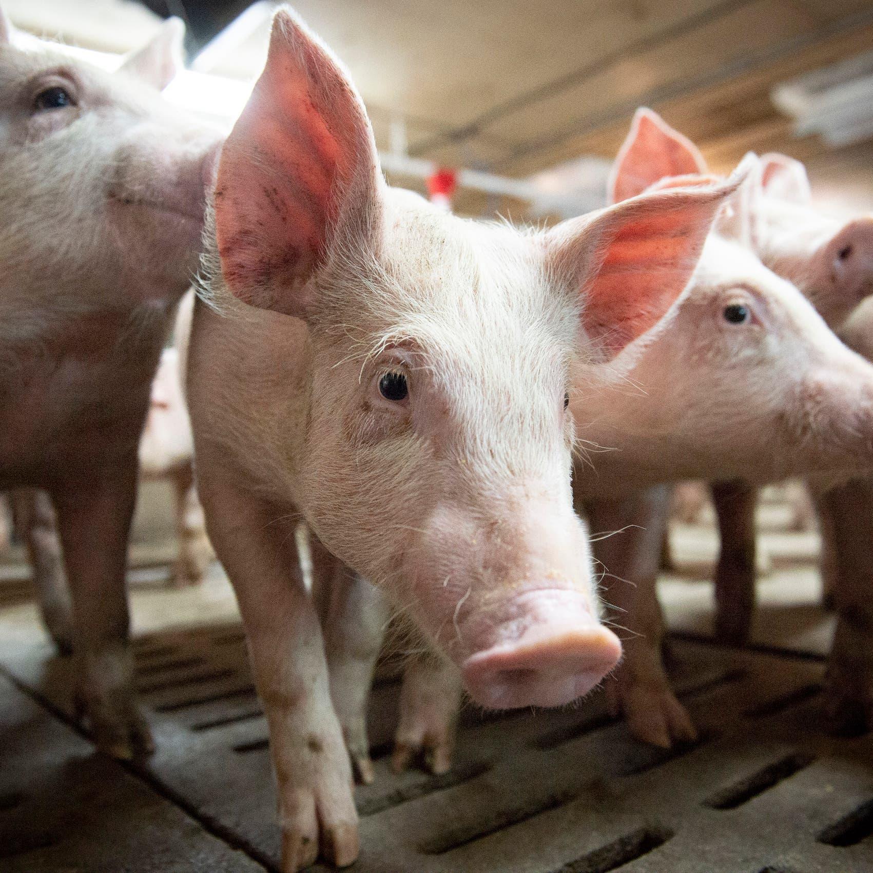 نوع نادر.. أول إصابة بين البشر بإنفلونزا الخنازير