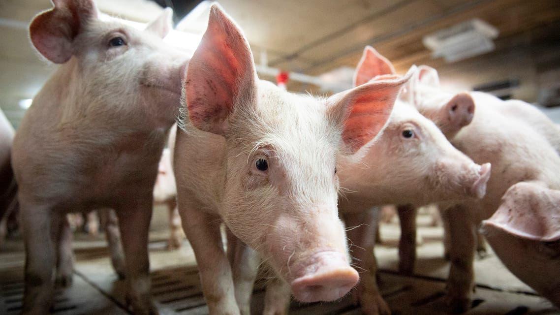 igs are seen at the Meloporc farm in Saint-Thomas de Joliette, Quebec, Canada. (AFP)