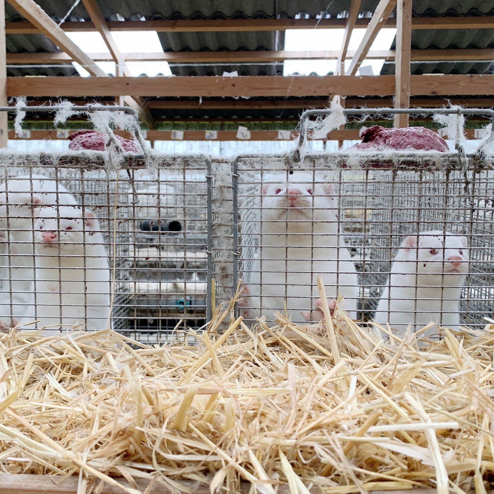 منظمة الصحة: 6دول أبلغت عن كورونا في مزارع حيوان المنك
