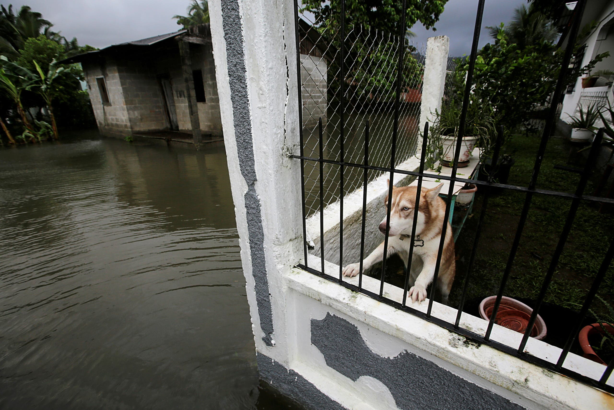 A dog is pictured inside a house at a neighborhood affected by floods as Hurricane Eta approaches, in Tela, Honduras November 3, 2020. (Reuters)