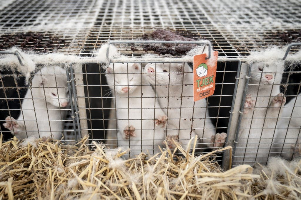 Mink look out from their cage at the farm of Henrik Nordgaard Hansen and Ann-Mona Kulsoe Larsen as they have to kill off their herd, which consists of 3000 mother mink and their cubs on their farm near Naestved, Denmark, on November 6, 2020. (AFP)
