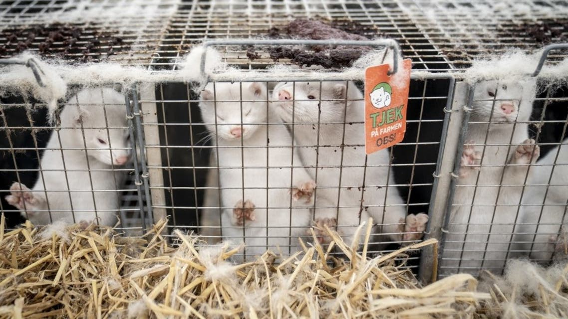 Mink look out from their cage at the farm of Henrik Nordgaard Hansen and Ann-Mona Kulsoe Larsen on their farm near Naestved, Denmark, on November 6, 2020. (AFP)