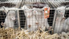 Denmark eyes extending ban on mink farming