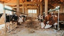 مراکش: شوہر کی جانب سے بیوی کو مویشیوں کے باڑے میں 10 سال تک بند رکھنے کا لرزہ خیز واقعہ