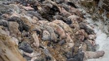 Coronavirus: COVID-19 kills 15,000 US mink, as Denmark prepares for nationwide cull