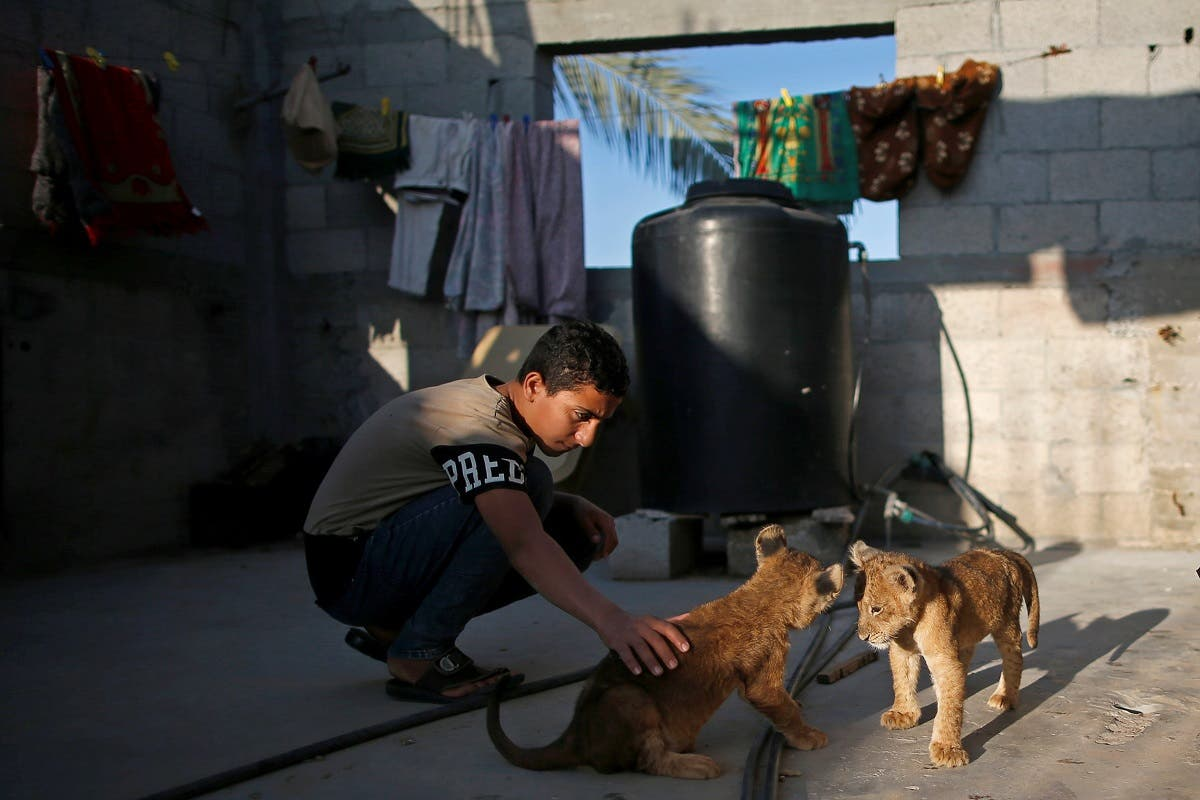A boy plays with two pet lion cubs that Palestinian Naseem Abu Jamea bought from a local zoo and keeps on his house rooftop, in Khan Younis, Gaza Strip November 10, 2020. (Reuters/Suhaib Salem)