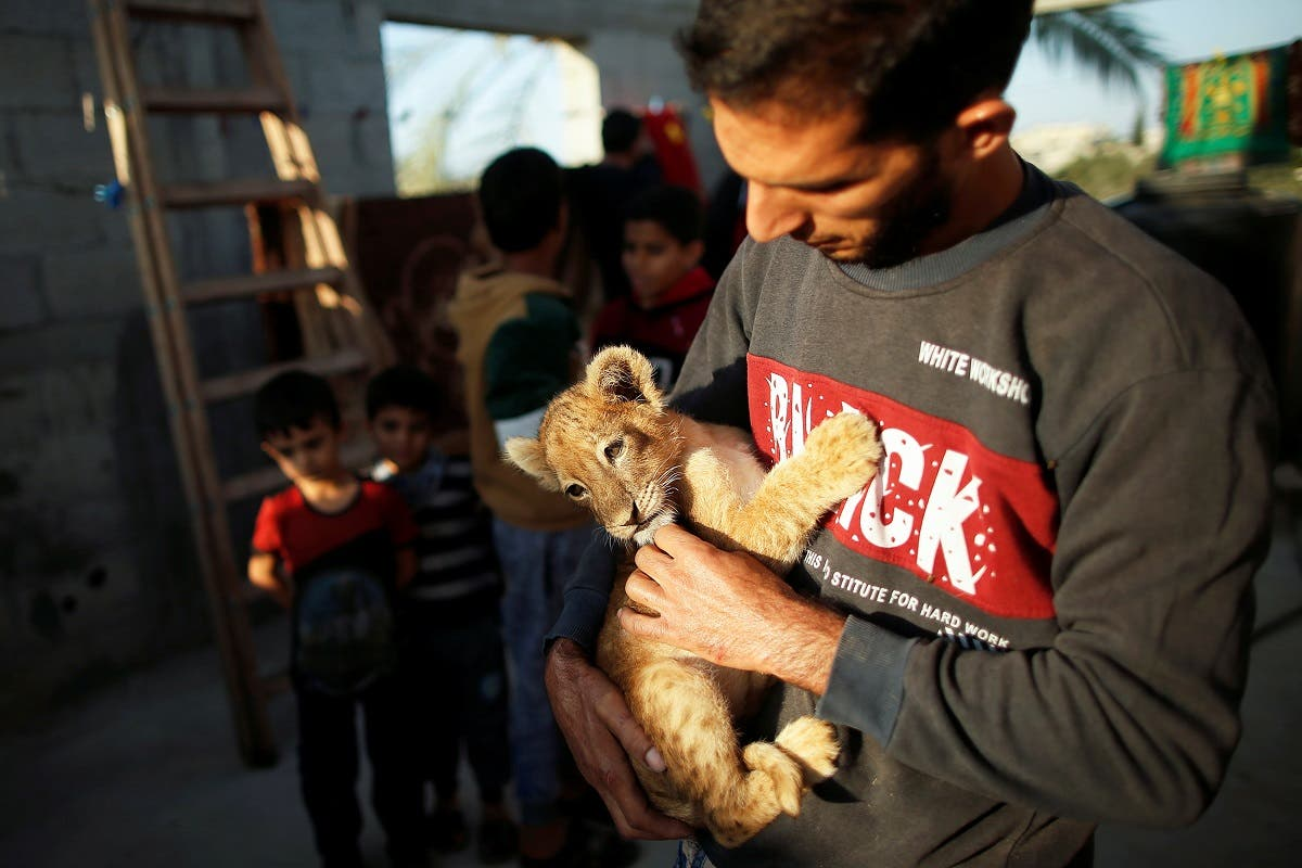 Naseem Abu Jamea holds one of his two pet lion cubs that he bought from a local zoo and keeps on his house rooftop, in Khan Younis, Gaza Strip November 10, 2020. (Reuters/Suhaib Salem)