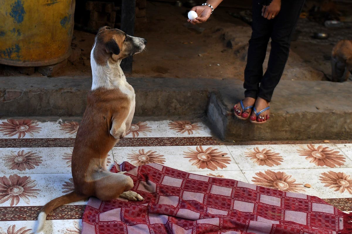 A caretaker feeds Rocky at the People For Animal Trust in Faridabad, India on November 17, 2020. (Money Sharma/AFP)