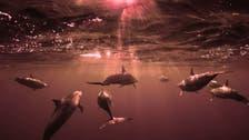 صور تفضح.. بيونغ يانغ تدرب دلافين على هجمات كاميكازي