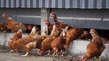 Thai researcher deems chicken feathers rich protein source