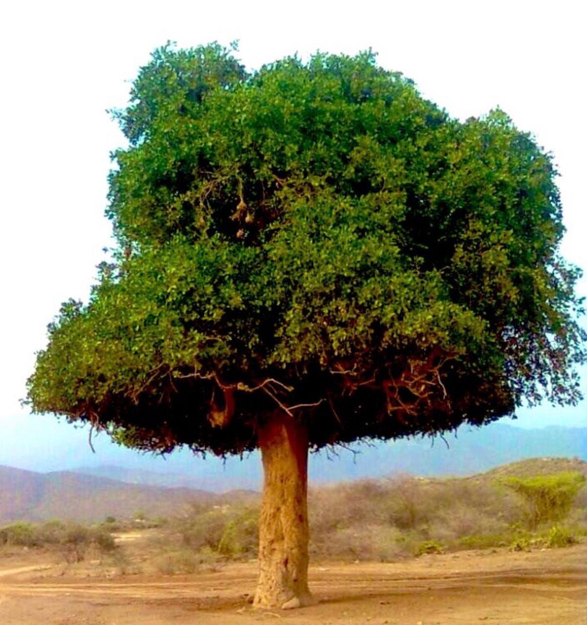 """شجرة """"الضبر"""""""