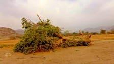 """""""البيئة"""" تحدد المعتدي على شجرة معمرة بجازان وتتوعد بمعاقبته"""