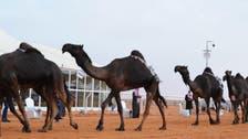 """بدء دخول """"المنقيات"""" تمهيداً لانطلاقة مهرجان الملك عبدالعزيز للإبل"""