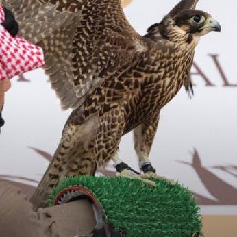 هكذا كانت المنافسة بين الصقارين في انطلاقة مهرجان الملك عبد العزيز