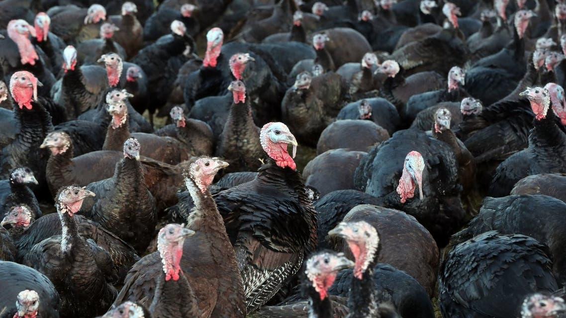 الدجاج الرومي في بريطانيا