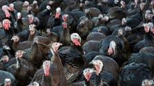 بريطانيا تؤكد اكتشاف إنفلونزا الطيور بمزرعة للدجاج الرومي