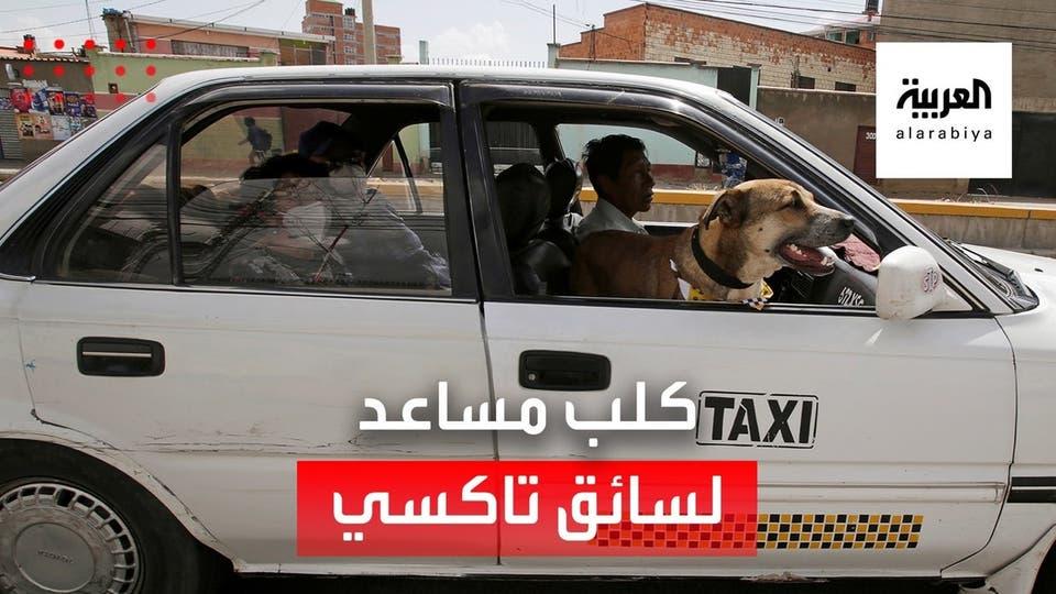 كلب يعمل مساعداً لسائق سيارة أجرة في بوليفيا.. تعرف على