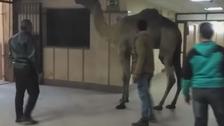 أثار عاصفة سخرية ..فيديو لجمل شارد يقتحم مستشفى حكومياً في مصر