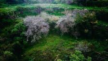 """""""منثورة كاللآلئ"""".. شاهد كيف غطت زهور اللوز جبال الباحة!"""