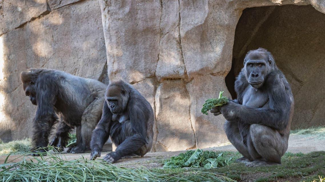 gorillas-covid-19